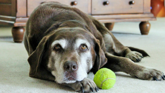 arthritis in a dog what you need to know