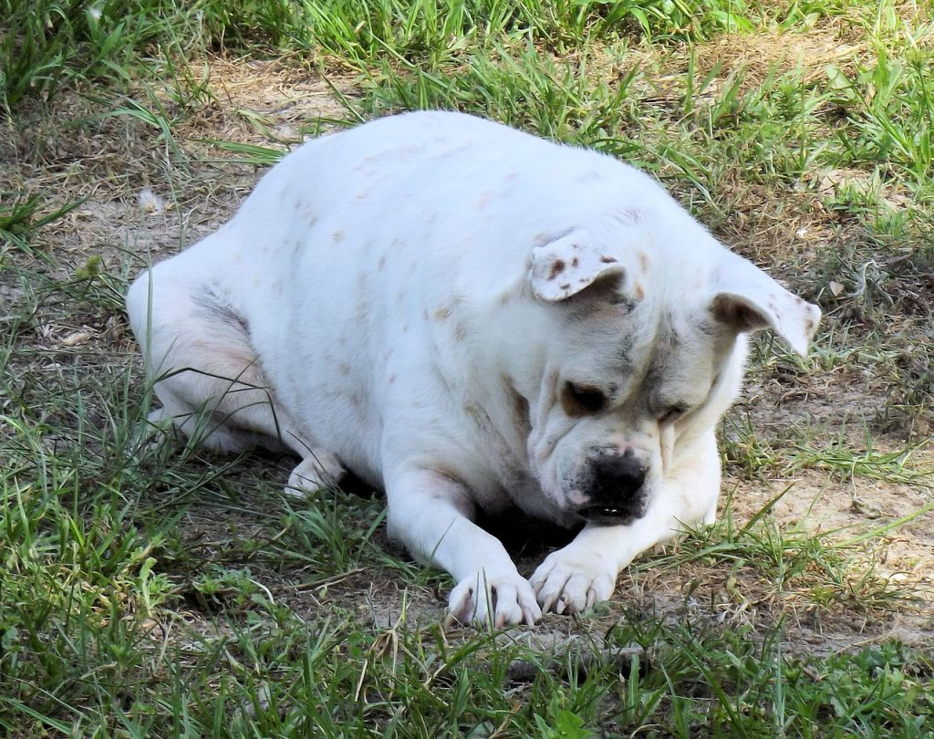 bulldog-1159989_1280