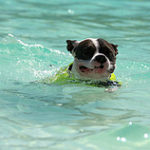 Gentle Swimming Can Help Dogs with Arthritis