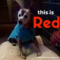 Red has doggie dementia but doesn't suffer from separation anxiety in older dogs