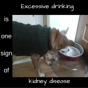 Excessive drinking one sign of kidney disease in dogs
