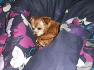 Red sleeping on comforter