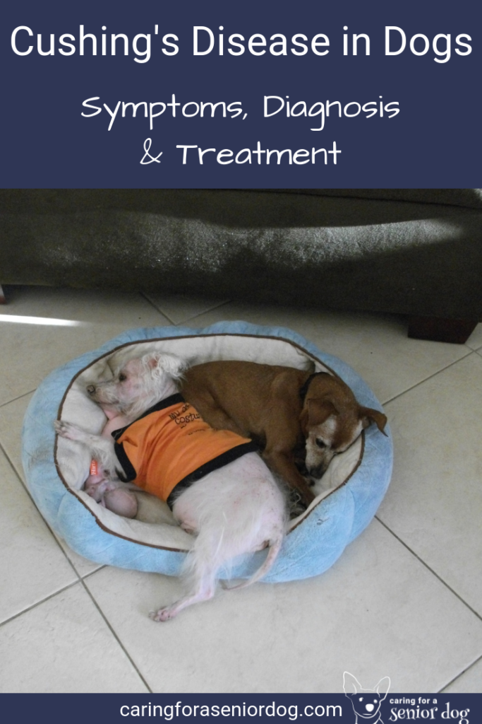 Cushing's disease in dogs symptoms diagnosis and treatment