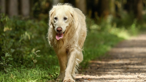How To Treat Dementia In A Dog Naturally - Caring for a Senior Dog