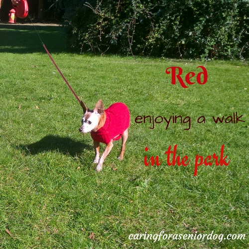 Red has dog dementia but still enjoys a walk in the park