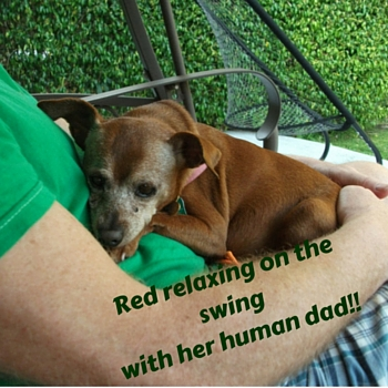 Red relaxing on the swing with her human dad