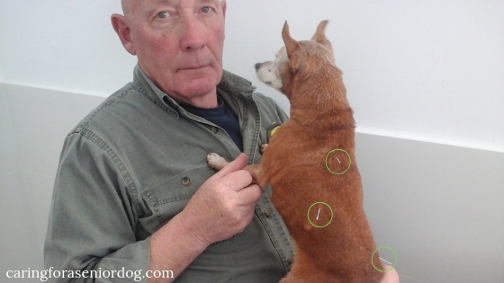 Treating dementia in dogs using acupuncture