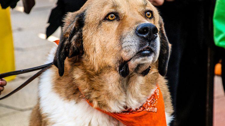 diagnosing dementia in dogs