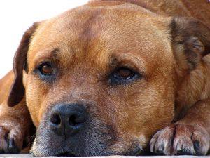 symptoms that indicate dementia in dogs