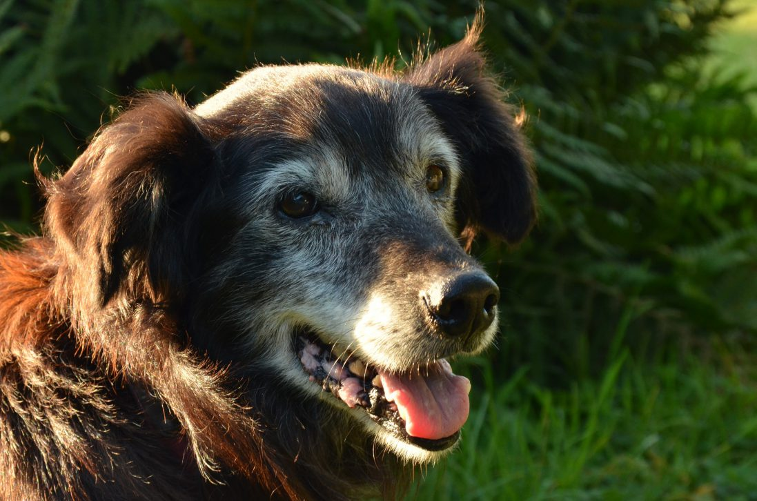the best natural treatment for a dog with dementia