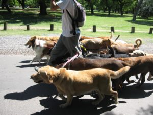 Dog Walker With Group of Dogs