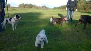 Jack in park with other dogs