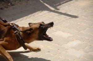 Aggressive Dog on a Leash