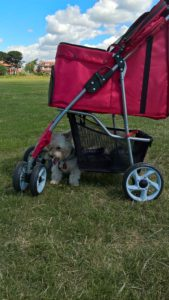 Jack getting some shade under a dog stroller