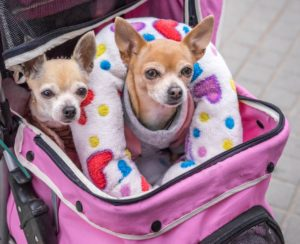 two dogs in a pet stroller