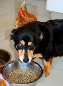 dog guarding his food bowl