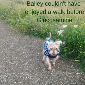Bailey walking thanks to glucosamine and chondroitin for dogs