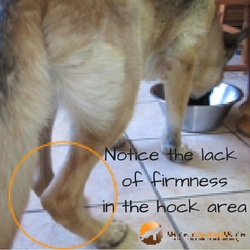 Notice The Lack Of Firmness In Hock Area Like A Worn Shock Absorber On