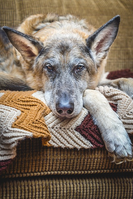pain and mobility issues in old dogs