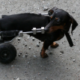 wheelchairs are great mobility aids for dogs