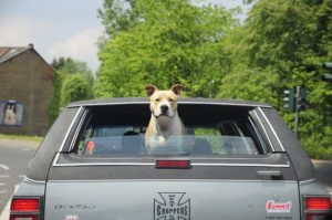 hanging out the window is a common cause of eye injuries in dogs