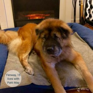 senior dog Fenway is 15 and lives with Patti May