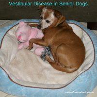 vestibular disease in senior dogs