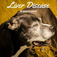 Liver disease in older dogs