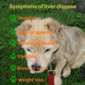 liver infection symptoms