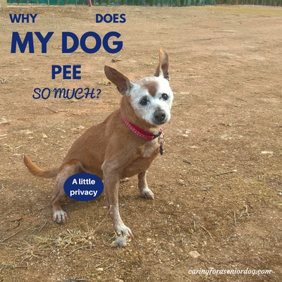 why does my dog pee so much