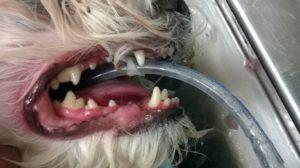 my dog Jack having dental surgery