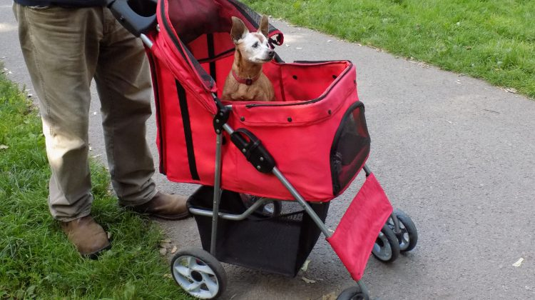 the pet stroller is a great mobility aid for senior dogs