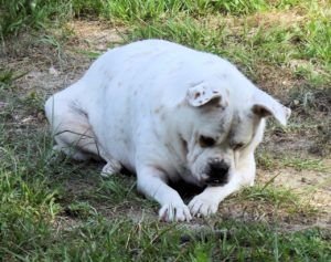 obesity in dogs will aggravate the pain of arthritis
