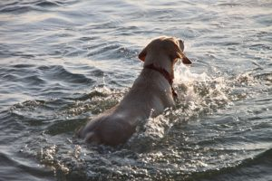 swimming is a great way to keep a senior dog active