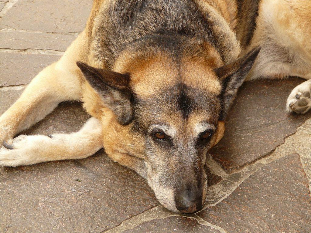 managing arthritis pain in dogs