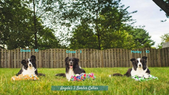 Angela's 3 Border Collies and their snuffle mats