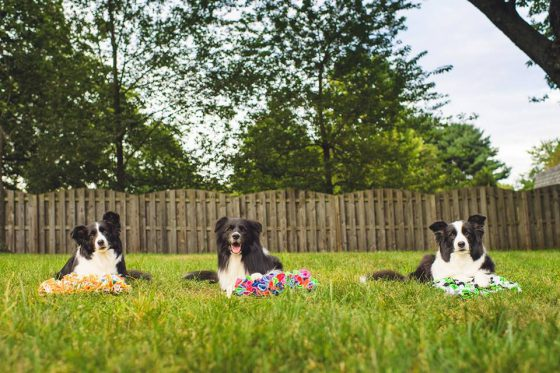Guest author Angela Tuzzos 3 border collies Dazzle Chase and MotleyBCs