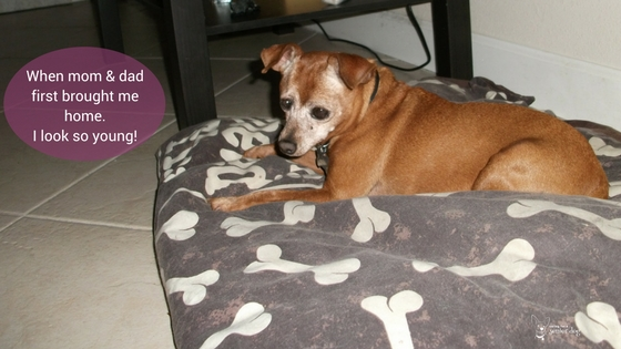 living with doggy dementia