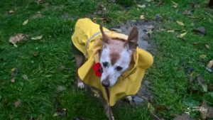 Bring a raincoat when caravanning with your senior dog