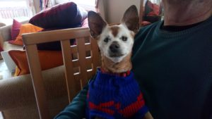 my old dog Red wearing a sweater in the house
