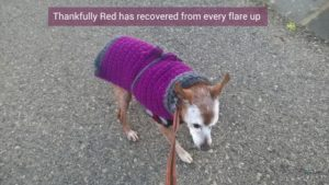 Red suffers from chronic pancreatitis in dogs