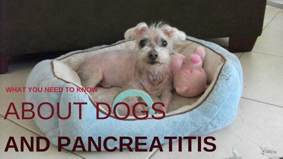 What You Need to Know About Dogs and Pancreatitis