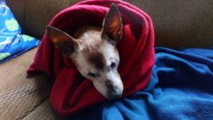 my senior dog Red wrapped in a blanket