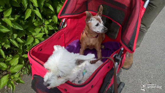 How to choose the best pet stroller for your senior dog
