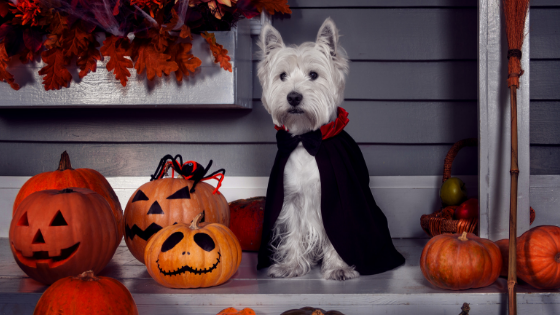 How to keep your senior dog safe on Halloween