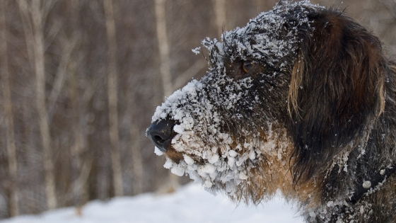 How to exercise your old dog safely in the winter