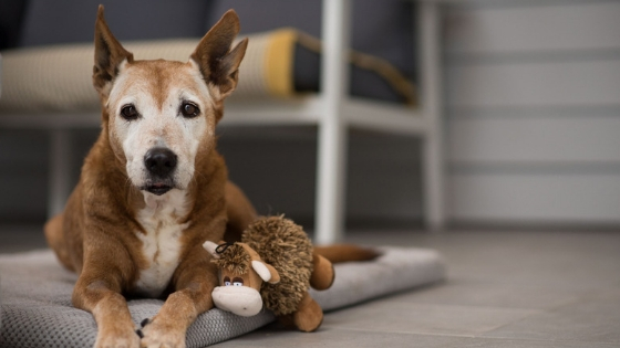 Dingy the senior rescue dog